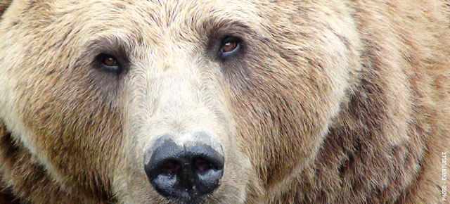 Bears, Bears, Bears | 5 NFB Films About Bears