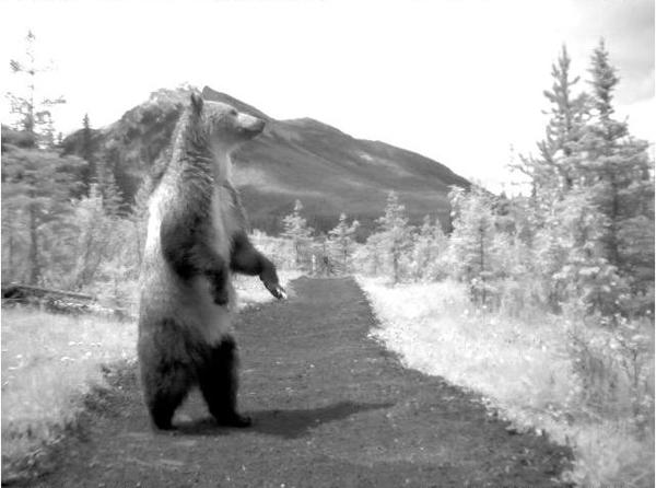 bear71_2