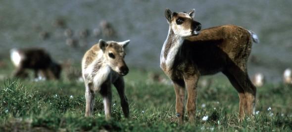 caribou-header