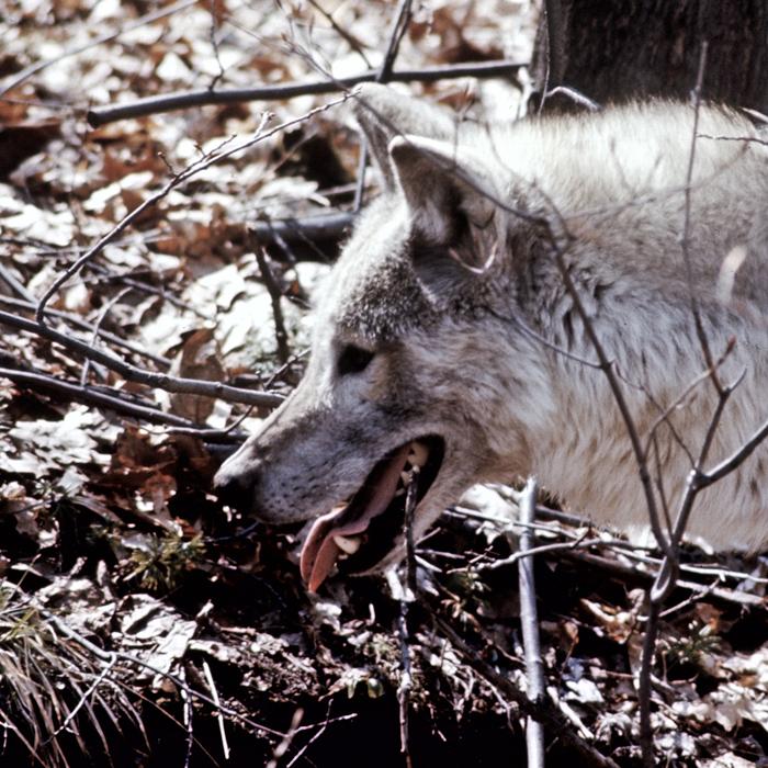 wolf-06