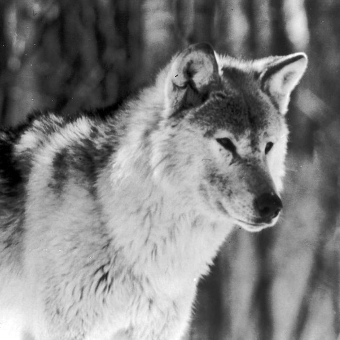 wolf-08