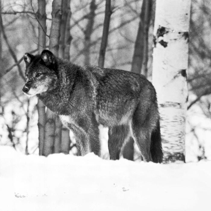 wolf-09