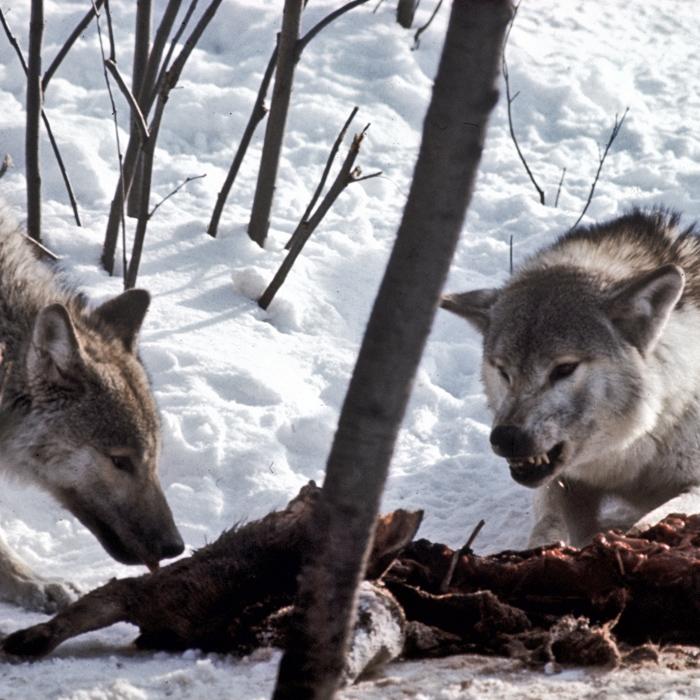 wolf-097