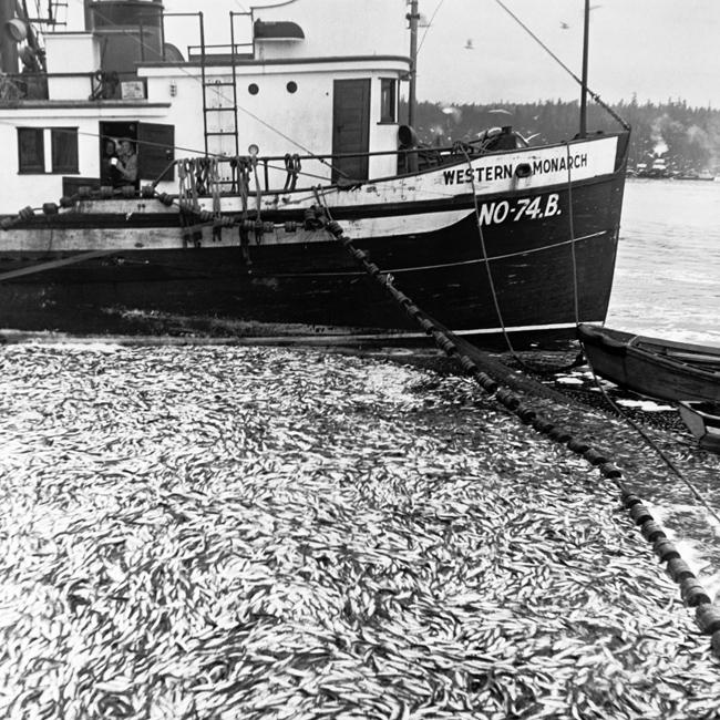 herring_04