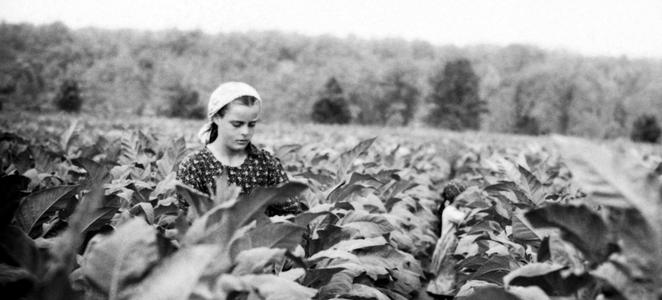 Photo Friday | Inside Ontario's Tobacco Harvest in the Late Fifties