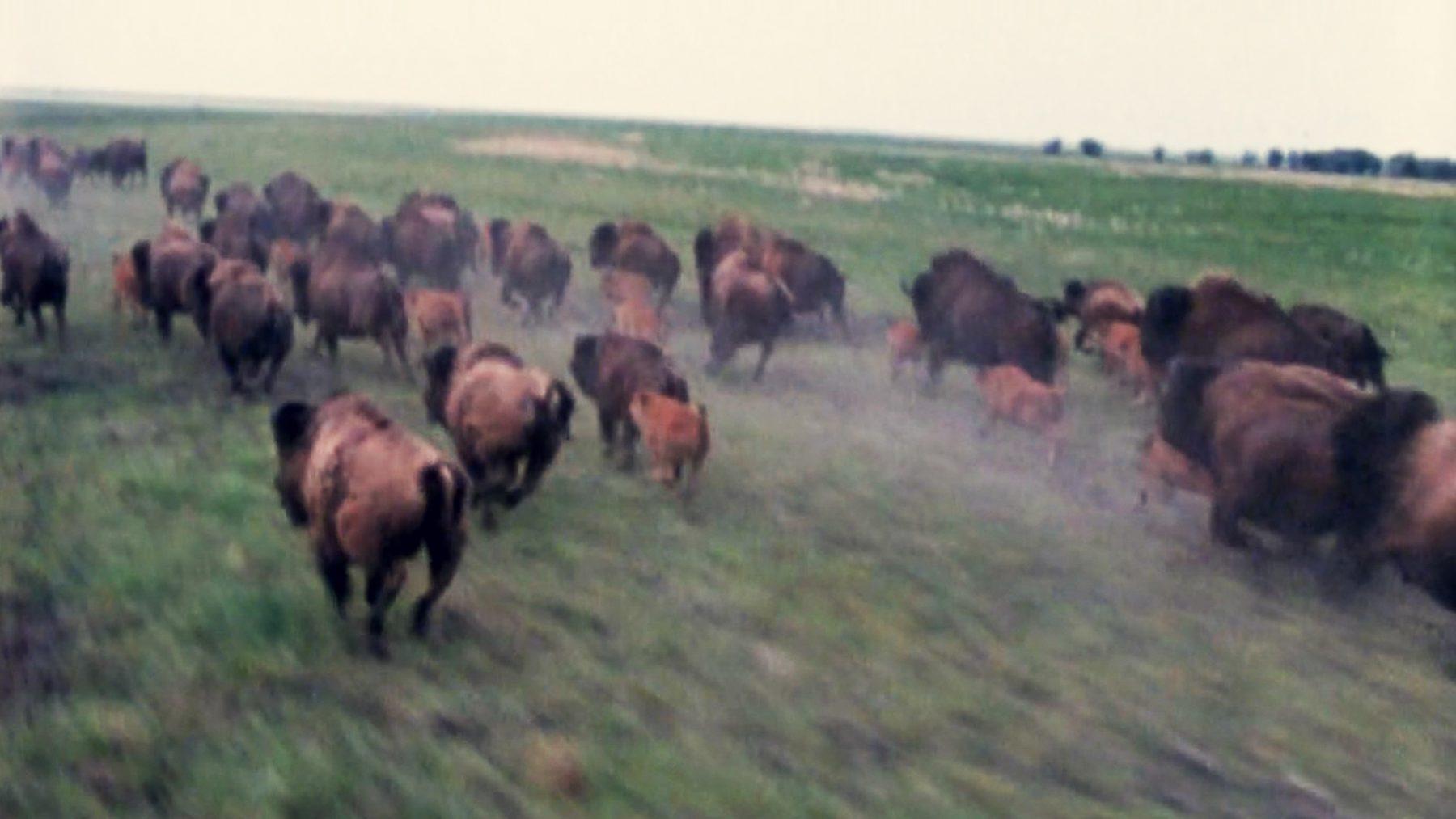 buffalo_1_2k