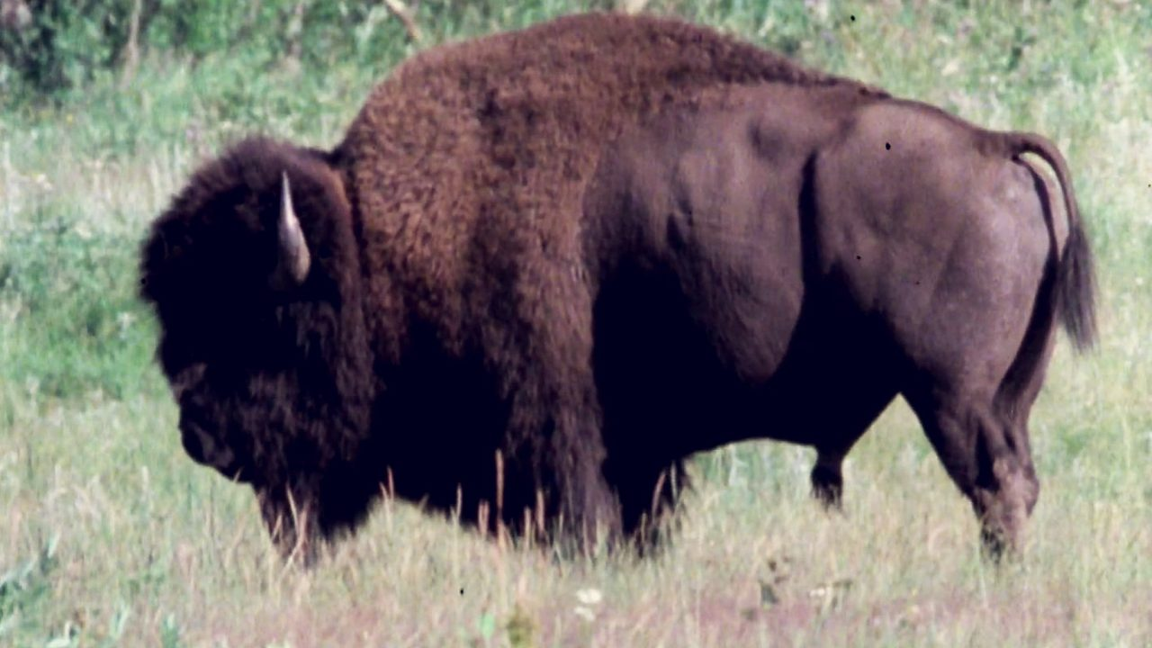 The Troubled History of the North American Bison | Curator's Perspective