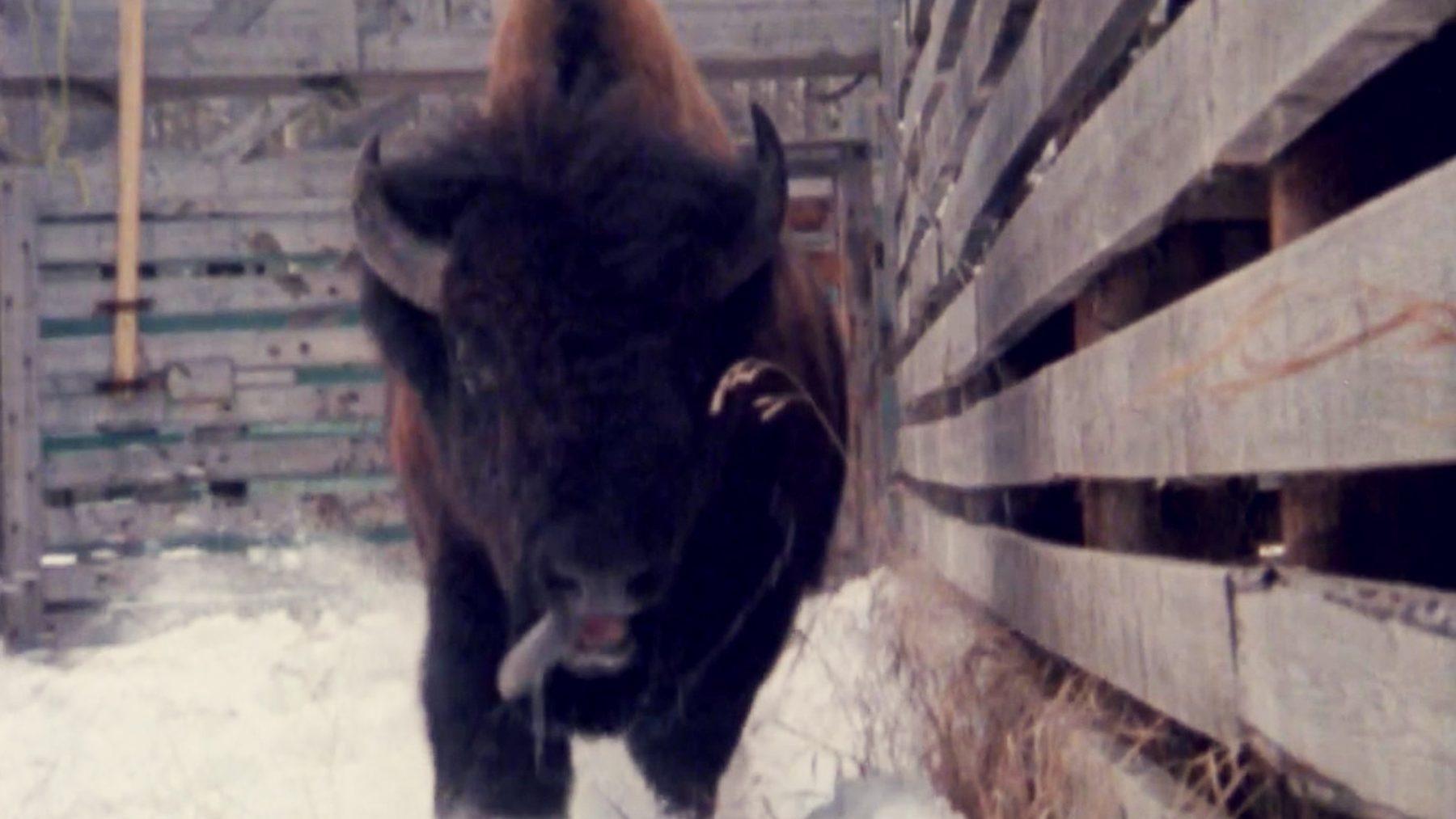 buffalo_3